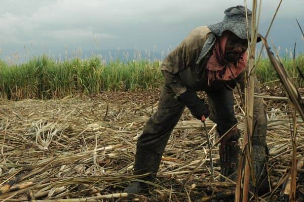Cruz María Montaña takes a swipe at the base of standing cane. Cane cutters in the Cauca Valley often work seven days a week. Photo credit: Dawn Paley.