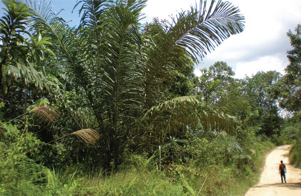 Sugar palms are one of the crops that make up the plantation. Photo by Shawn Thompson.