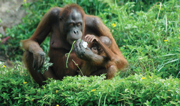 A mother and child at the Samboja Lestari orangutan preserve. Photo by Shawn Thompson.