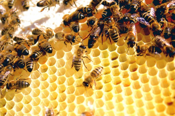 Colony Collapse Disorder hasn't been in the news as much recently, but it continues to plague bee populations and threaten agriculture. Creative Commons photo by Flickr user Todd Huffman.