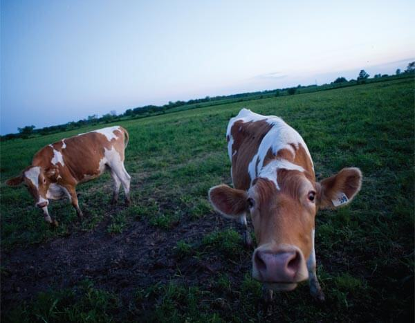 Cows on Robert Beynon's farm. Photo by Ian Willms.